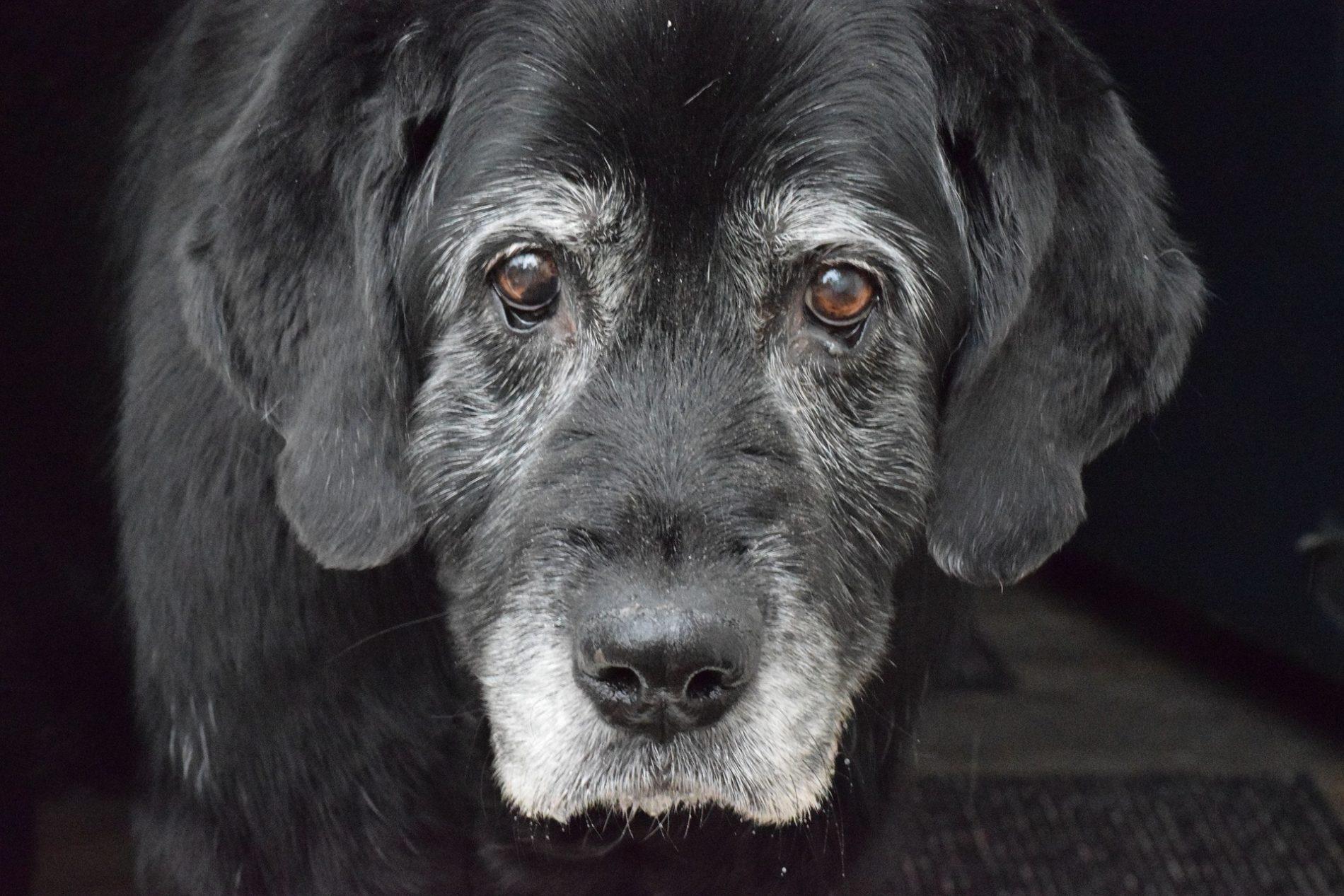 alter und ergrauter Hund