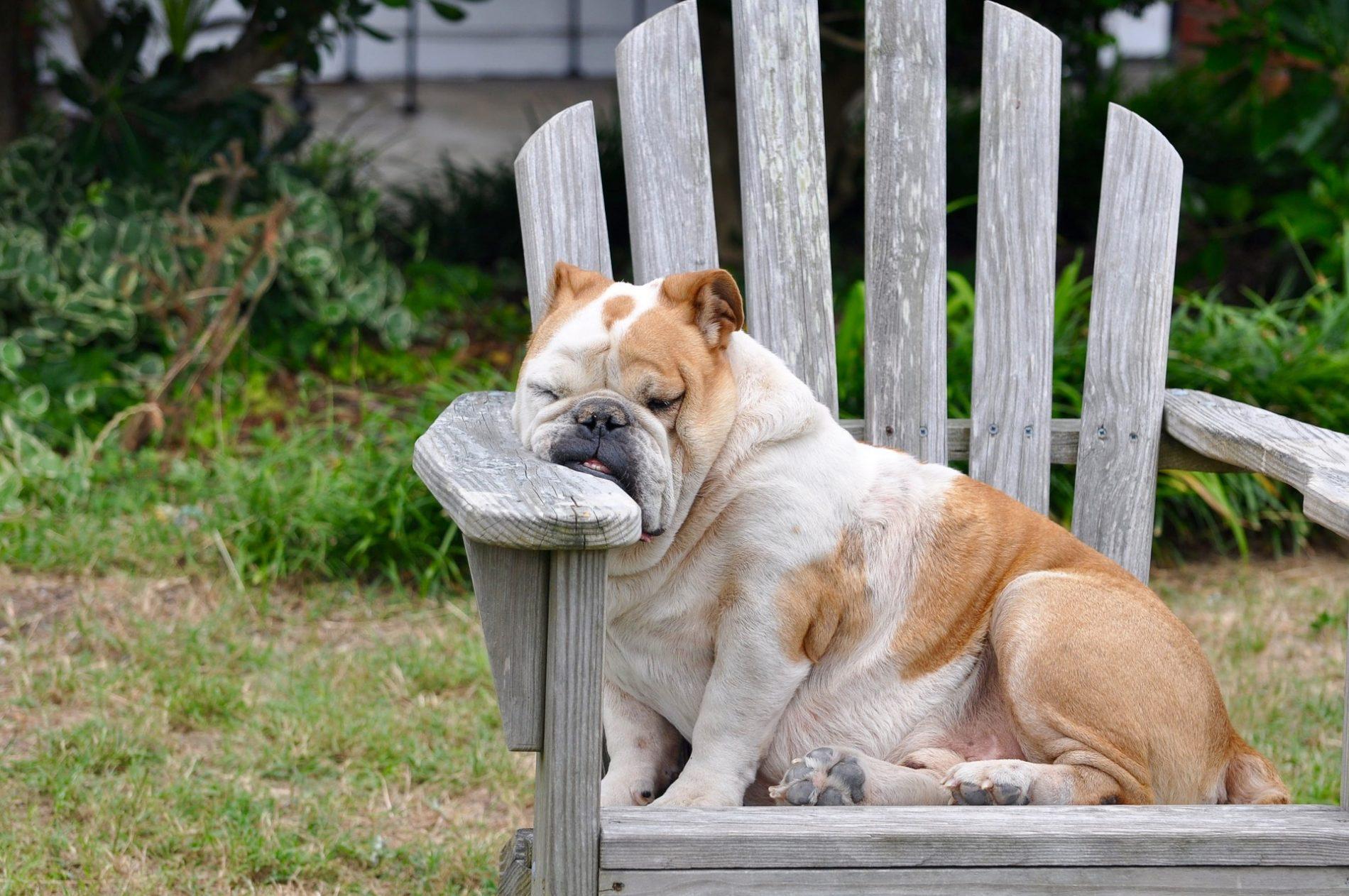 dicker Hund im Stuhl