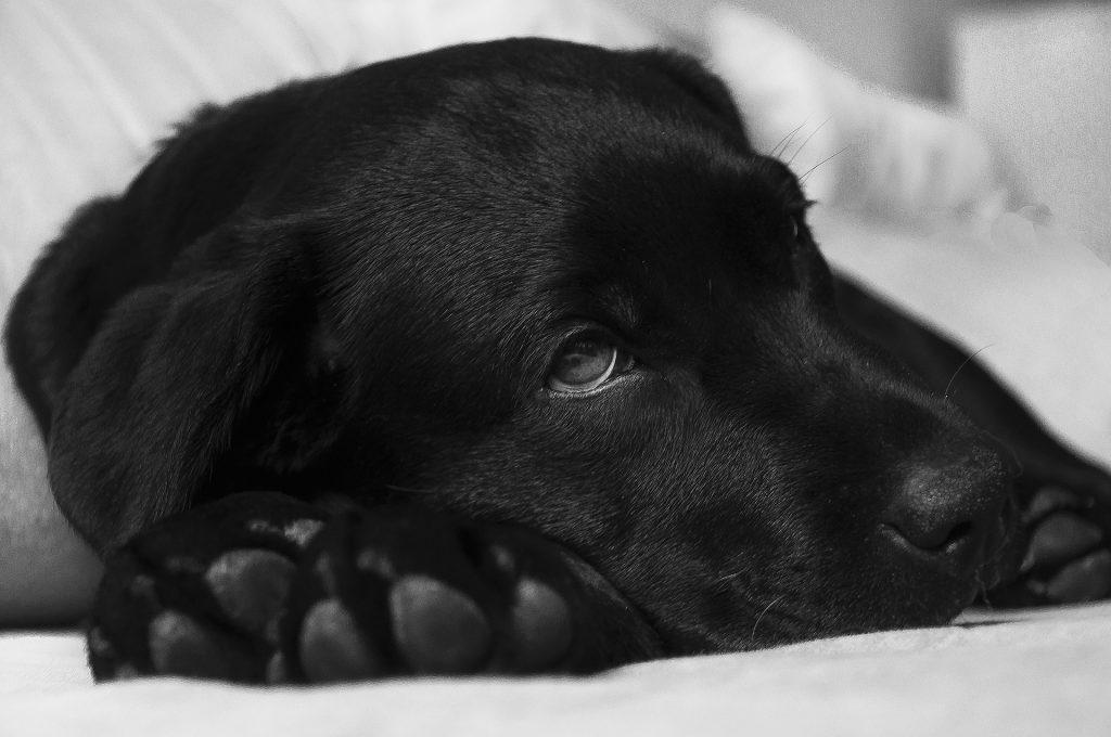 relaxter Labrador
